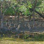 Whistling Ducks crowding a retreating billabong