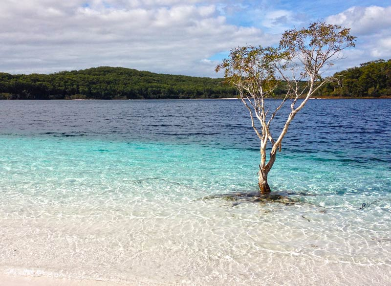 A lonely old Paperbark Tree sits at Lake Mckenzie